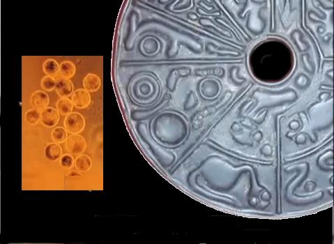 foto ovuli disco genetico